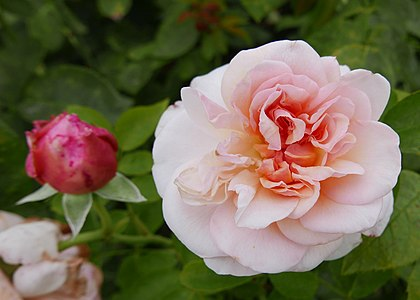 Rosa 'St Swithun' David Austin.jpg