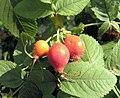 Rosa villosa fruit (04).jpg