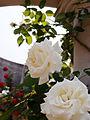 Rose,Caroubier,バラ,カルビエ, (8144948104).jpg