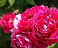 Rose, Baron Girod de l'Ain, バラ, バロン ジロー ド ラン, (11472695876).jpg
