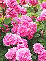 Rose, Charmian, バラ, チャーミヤン, (14130727068).jpg