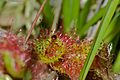 Round-leaved Sundew (Drosera rotundifolia) with ant prey (9410495122).jpg
