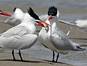 Royal Tern Oak Island RWDa.jpg