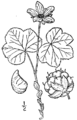 Rubus chamaemorus L. - cloudberry 02.png