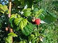 Rubus idaeus 01.JPG