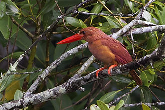 Ruddy kingfisher - Adult at Sunderbans National Park, West Bengal, India