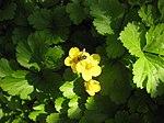 Ruhland, Grenzstr. 3, Golderdbeere im Garten, blühende Pflanzen, Frühling, 05.jpg