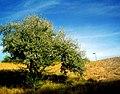 Russian olive tree (210625079).jpg