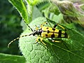 Rutpela maculata (Cerambycidae), Doorwerth, the Netherlands.jpg