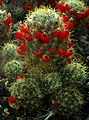 SDC11390 - Mammillaria prolifera.JPG