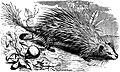 SFR b+w - tuft-tailed porcupine.jpg