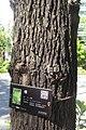 SZ 深圳 Shenzhen 鹽田區 Yantian District 深鹽路 Shenyan Road Greenway tree 樟樹 Cinnamomum camphora trunk skin Sept 2017 IX1.jpg