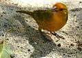 Saffron Finch (Sicalis flaveola) male (28189444221).jpg