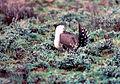 Sage-grouse (15757505561).jpg