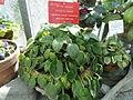Saintpaulia ionantha subsp. rupicola - Botanical Garden in Kaisaniemi, Helsinki - DSC03658.JPG