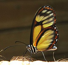 Salapia Glasswing (Ithomia salapia), Arvi Park, Colombia.jpg