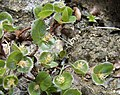 Salix herbacea.jpg