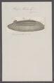 Salpa thalia - - Print - Iconographia Zoologica - Special Collections University of Amsterdam - UBAINV0274 092 08 0029.tif