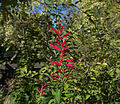Salvia haenkei - Parc Floral.jpg