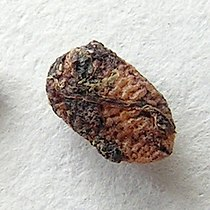 Sambucus nigra20100414 38.jpg