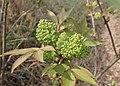 Sambucus racemosa kz06.jpg