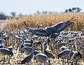 Sandhill Crane In Mid Landing (262621683).jpeg