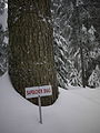 Sapsucker Tree, Cypress Mountain, Vancouver, British Columbia.JPG