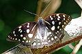 Sasakia charonda formosana female dorsal view 20150529.jpg