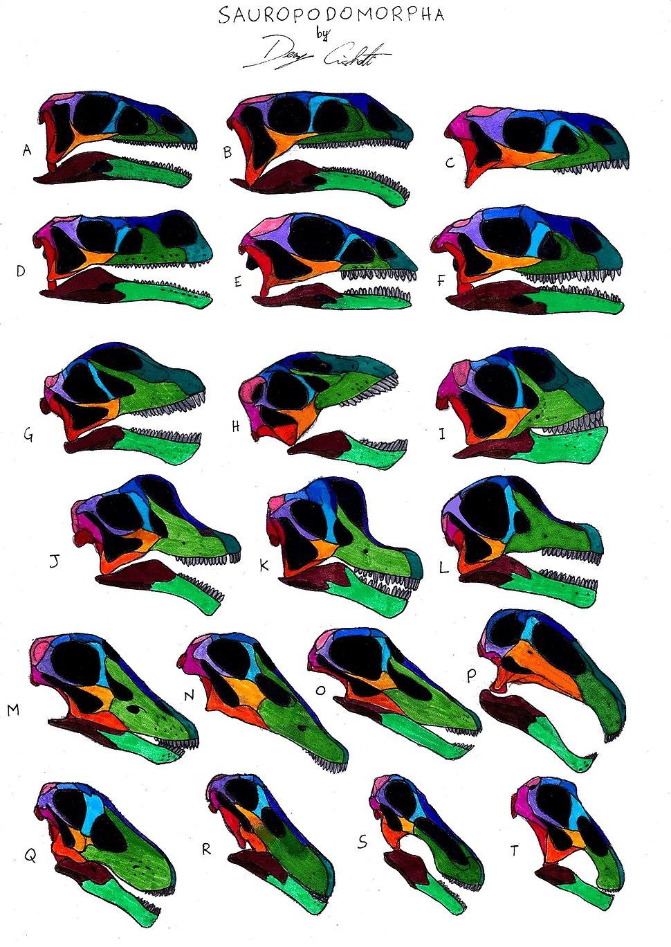 Sauropodomorpha skull comparison