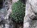 Saxifraga burseriana PID1293-5.jpg