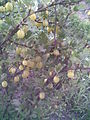 Saxifragales - Ribes uva-crispa 3 - 2011.07.11.jpg