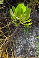 Scaevola plumieri with ripe and unripe drupes Dunedin Florida.jpg