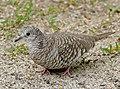 Scaled Dove (Columbina squammata) (31568901572).jpg