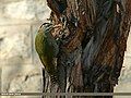 Scaly-bellied Woodpecker (Picus squamatus) (25773255820).jpg