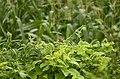 Scaly breasted munia Lonchura punctulata from sathanur perambalur JEG2877 .jpg