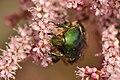 Scarabaeidae Cetonia aurata 4.jpg