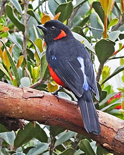 Scarlet-bellied Mountain-Tanager JCB.jpg