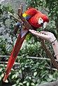 Scarlet Macaw at Kuranda-2 (6288722276).jpg
