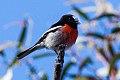 Scarlet Robin (Petroica boodang) (8079694507).jpg