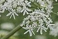 Schermbloem- Apiaceae or Umbelliferae (28967760566).jpg