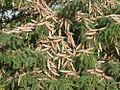 Schistocerca gregaria swarm detail.jpg