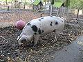 Schwein-IMG 3122.JPG