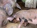 Schweine auf Gut Herbigshagen.JPG
