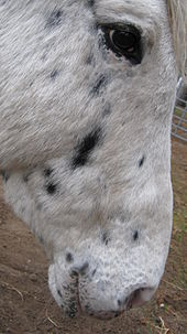 The head of a light-colored horse with dark spots, showing spotting around the skin of the eye and muzzle.
