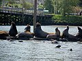 Sea lions (Astoria, Ore.).jpg
