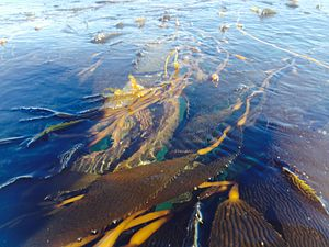 Santa Cruz harbor - Photo of Giant Kelp floating just outside the Santa Cruz harbor.