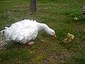 Sebastopol Goose and Goslings.jpg