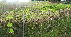 Planta��o de chuchu nas Ilhas Reuni�o