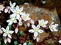 Sedum brevifolium (15905756452).jpg