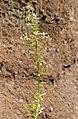 Sedum cepaea inflorescence (15).jpg